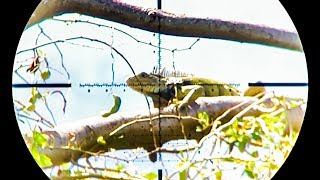 Air Gun War on the GREEN IGUANA!