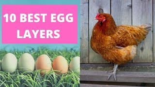 BEST CHICKENS FOR LAYING EGGS.