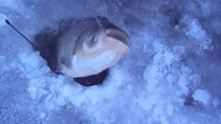 Рыбалка зимняя толстолоб на косынку под лед