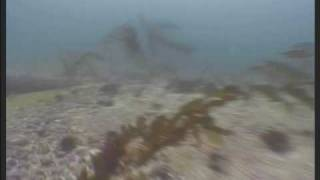 preview picture of video 'Funky sea lions visiting divers in Pucusana, Peru'