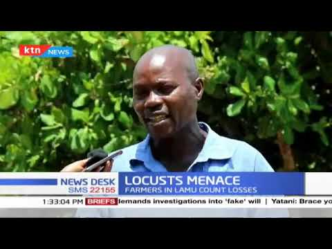 Locusts Menace: Farmers in Lamu count losses after locusts ravage their fields