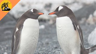 World penguin day!! Gentoo and emperor penguins