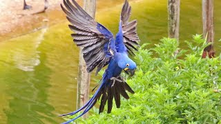 Hyacinth Macaw is The Largest Parrot in The World - Ground hornbill - Australian ibis