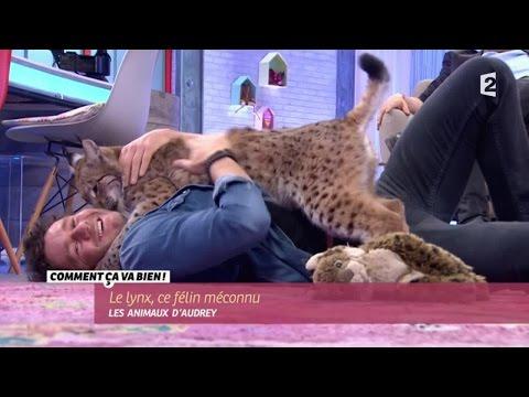 [ANIMAUX] Le lynx, ce félin méconnu #CCVB