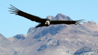 Condors Fly Again In Chile