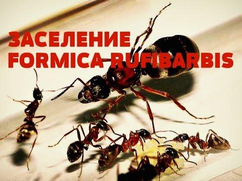 Муравьиная ферма (Формикарий) заселение formica rufibarbis (часть 4). ANT FARM
