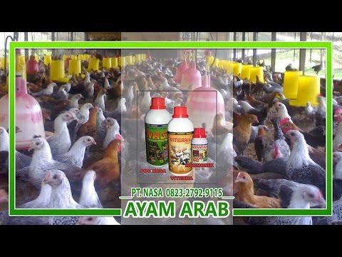 Video Cara Budidaya Ayam Arab Dan Cara Menghasilkan Panen Ayam Arab Yang Baik