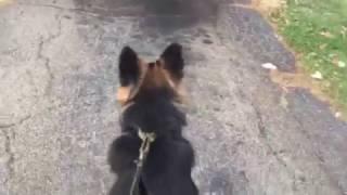 10 month old German shepherd protecting his owner