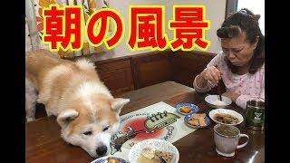 大型犬の朝 秋田犬 シベリアンハスキー犬 シェパード犬