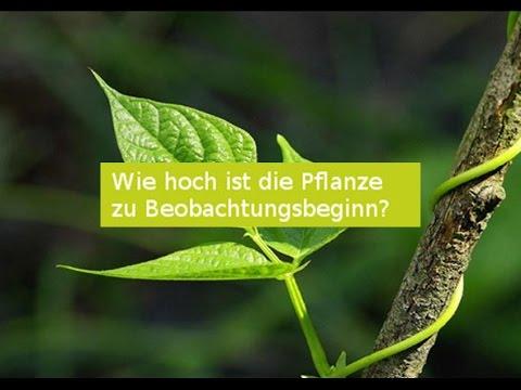 Exponentialfunktion - Die Kletterpflanze (1) - Exponentielles Wachstum