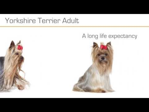 royal canin yorkshire terrier adult buy now at zooplus. Black Bedroom Furniture Sets. Home Design Ideas