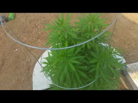 8-PLANT DEEP WATER CULTURE (DWC) HYDROPONICS TRANSITION TO