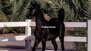 BLACK ARABIAN HORSES FILLY BY AJMAL TALAL خيل عربي اصيل مهرة عربية دهماء بنت العالمي اجمل طلال
