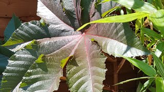 How to grow Ricinus (Castor Oil) plants