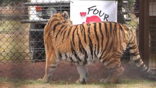 #FOURPAWSgowild: Six tigers to find a new home in LIONSROCK