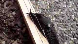 Slug on Electric Fence Part 1