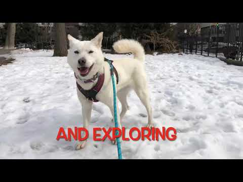Jammie, an adopted Jindo in Centreville, VA_image-1