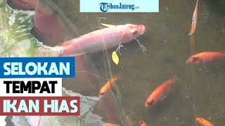 Mirip di Jepang, Selokan di Semarang Jadi Tempat Pelihara Ikan Hias