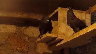 Голуби Сервера (Джанкой) Андижанские голуби, узбекские бойные голуби