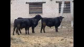 """Закупка бычков мясной породы в сельхозпредприятие """"Воскресенье-АГРО"""""""