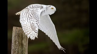 Learn owl language - a conversation between a RAVEN & a SNOWY OWL