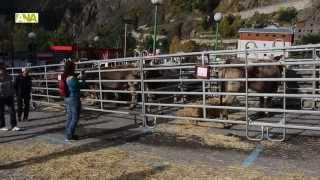 preview picture of video 'Canillo celebra una nova edició de la Fira de bestiar amb la mirada posada en el relleu generacional'