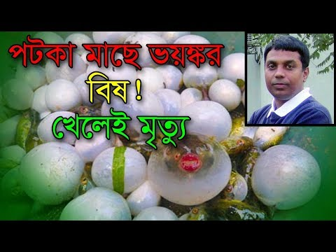পটকা মাছে ভয়ঙ্কর বিষ, খেলেই মৃত্যু! Puffer Fish Poisoning