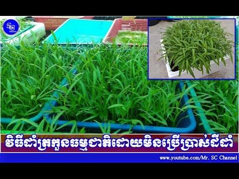 វិធីដាំត្រកួនធម្មជាតិដោយមិនប្រើប្រាស់ដី, Khmer News Today, Mr. SC Channel,