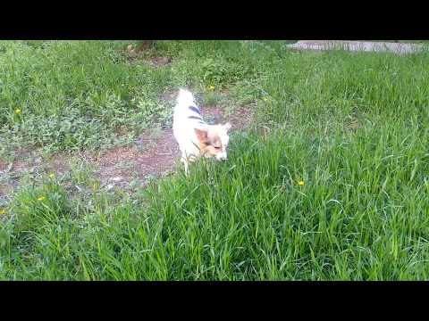 Stepan for a walk. Green grass. Стёпа на прогулке. Зелёная трава.