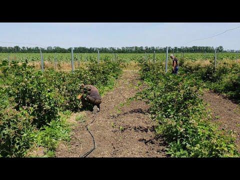 Лучшая плантация ежевики в стране! Отличные сорта. Отличный урожай. Правильный уход.
