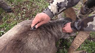 Stone Sheep Full Body Dorsal Cut Caping