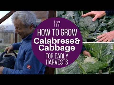 How to Grow Calabrese & Cabbage for Early Harvests