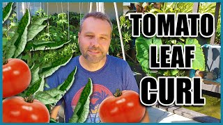 TOMATO LEAF CURL - 3 Causes And What To Do When Your Tomato Leaves Are Curling Up.