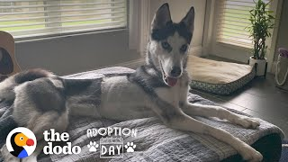 You Won't Believe What This Husky Looks Like Now | The Dodo Adoption Day by The Dodo