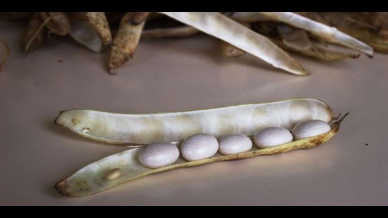 Voici la méthode ancestrale pour récolter le délicieux coco de Paimpol