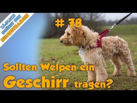 TGH 78 :  Sollten Welpen ein Geschirr tragen - Hundeschule Stadtfelle - Welpengeschirr