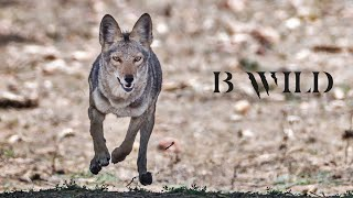 BWILD MEXICO, Wildlife Conservation - Golden Eagle, Mountain Lion, Shark - HD