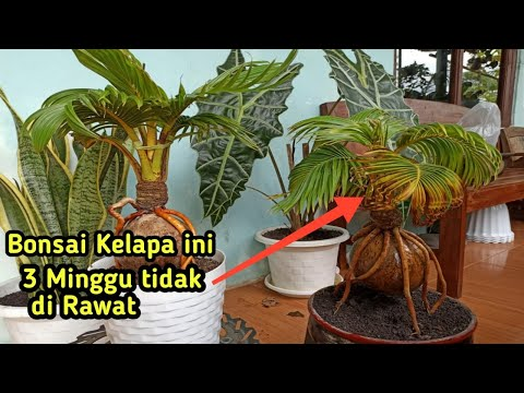 Coconut bonsai is  untreated for 3 weeks || bonsai kelapa 3 minggu tidak di rawat