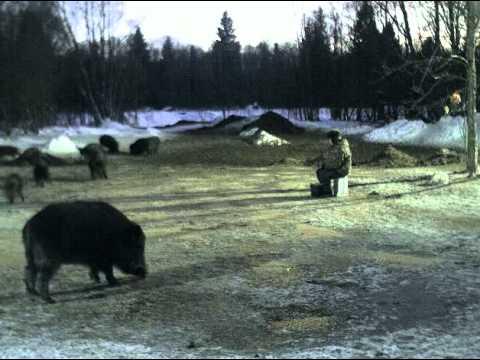 Krmeliště v Estonsku – v obklopení divočáků