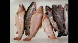 Форум платный рыбалки светлые горы