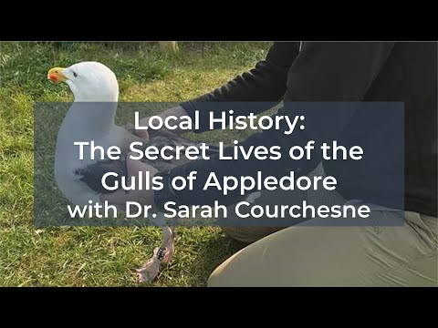 Local History: The Secret Lives of the Gulls of Appledore