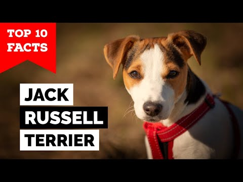 Jack Russell Terrier - Top 10 Facts