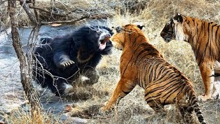 bagh bhaloo fight video - Free video search site - Findclip Net