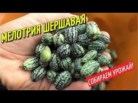 МЕЛОТРИЯ ШЕРШАВАЯ АФРИКАНСКИЙ ОГУРЕЦ/СОБИРАЕМ УРОЖАЙ.