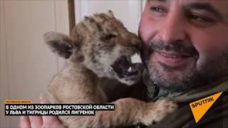 В ростовском зоопарке у льва и тигрицы родился лигренок
