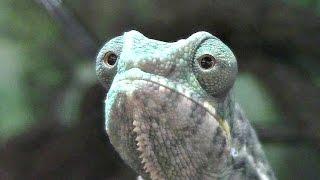 Chameleon Pi Rabid Showroom