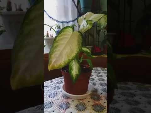 Аукуба,дифенбахия,фикус.Мои новые цветы .