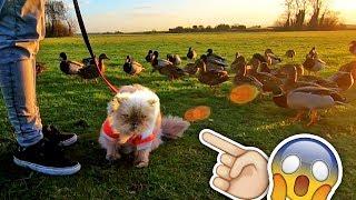 Para más patos ► http://www.patreon.com/DalasReview  Mi GATO ha conocido a 200 patos! Su reacción ha sido épica y legendaria al mismo tiempo xD lo mejor y más divertido que he grabado en todo el año creo. Súper gracioso.  ¡MÍRAME EN DIRECTO! http://www.twitch.tv/DalasReview Tienda ► http://shop.bbtv.com/collections/dalas-review Canal Principal ► http://www.youtube.com/DalasReview  Instagram ► http://www.instagram.com/Dalasito Twitter ► http://www.twitter.com/DalasReview Facebook ► http://www.facebook.com/Dalas.Azahar
