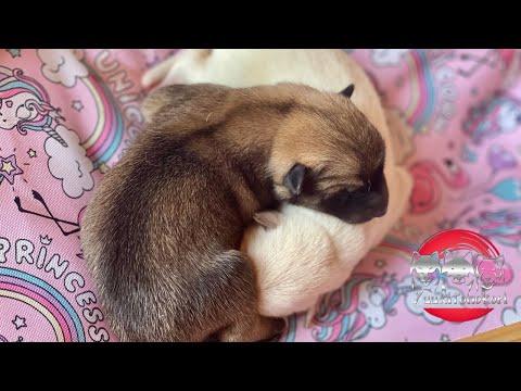 ** Korean Jindo Puppies - Litter B   breakfast **