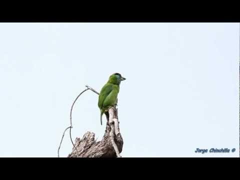 Megalaima asiatica